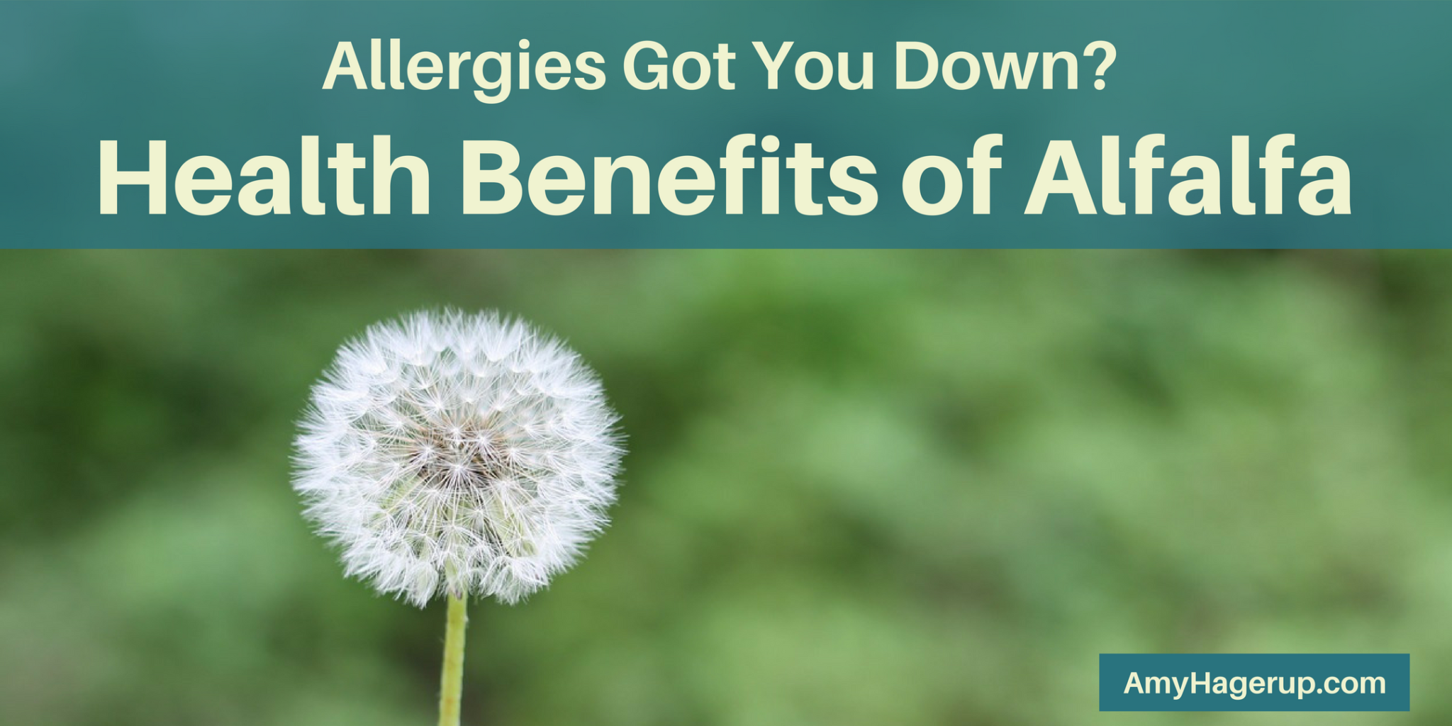 Suffer with allergies? Check out these health benefits of alfalfa.