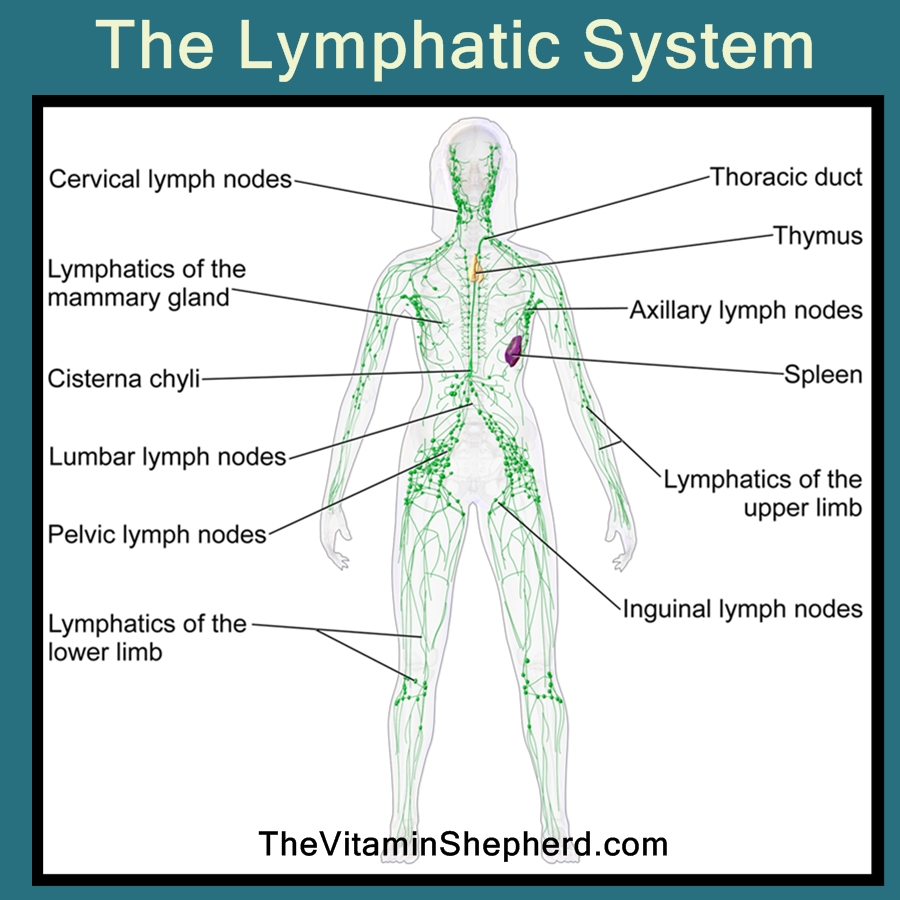How The Lymphatic System Works Nurufunicaasl